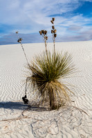 Yucca in Sand Patterns